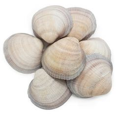 Conchas Naturales Granel, Glycymeris