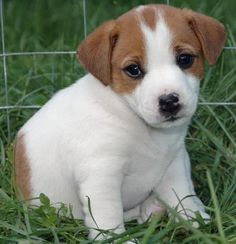 jack russell | Jack Russell,Cachorros Jack Russell,Comprar cachorro de Jack Russell ...