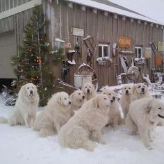 This group of Great Pyrenees are so cute as they hang out on a snowy day, too cute!