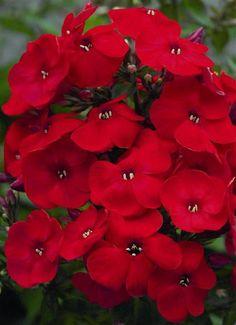 Phlox-volcano red
