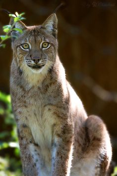 Lynx Posing For Camera and Photographer.