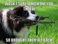 Wasn't sure which one........Border Collies love to bring sticks, balls, toys, etc.....Marlowe does this with toys. If you don't throw the first, he brings a selection to choose from!