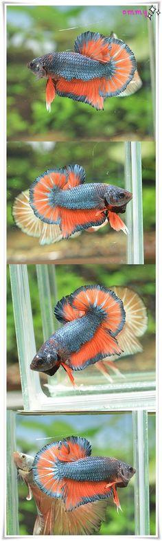 fwbettashmp1457790608 - Steel Blue Orange Butterfly OHM PK #35