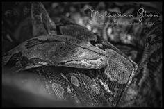 Malaysian Python, Penang. Malaysia 2015