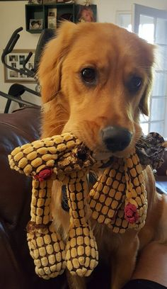 Coco, 10 month old Golden Retriever #goldenretriever