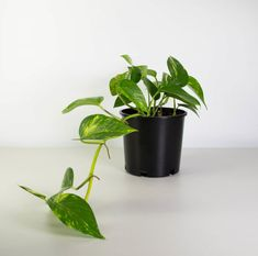 Looking to bring your home to life? Here are the best indoor plants to help bring your home to life and add some sparkle! Inside Plants, Ivy Plants, Cool Plants, Garden Plants, Foliage Plants, Indoor Plants Low Light, Best Indoor Plants, Household Plants, Golden Pothos