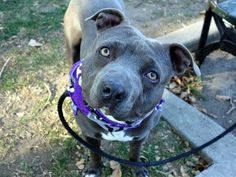 SAFE ! 11/08/13 Manhattan Center-P~BLAKE HORN~ID #A0983011 Male gry & wht pit bull mix 2 YRS old STRAY10/24/13 Friendly, happy to make a new friend. Pulls a bit on leash, but responsive. Born w/ slight deformity, lower jaw not fully formed, but all teeth are there-clean/healthy. A bit skittish w/ loud, unexpected noises, but recovers quickly. Some guarding issues w/ food/ bone-common w/ strays (retrainable).  Blake is hoping you'll come meet him & make him a part of your forever family.