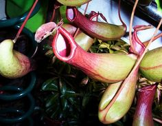 Labia plant!