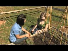 Peas - Care and Harvest. Find out more information at http://www.finegardening.com/video/homegrown-homemade-how-to-plant-peas.aspx