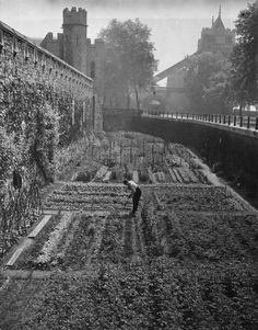 June 1940: A gardener tending the vegetables growing in a moat at the Tower of London. (Photo by David Savill/Topical Press Agency/Getty Images)