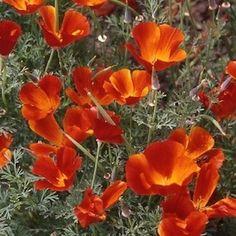 Red Chief California Poppy