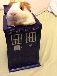 too much cute. Guinea pig in a T.A.R.D.I.S. << poor piggy needs a nail trim though. I have this TARDIS, but I don't trust my piggies not to pee in it.