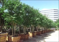 The Carrotwood is an ideal evergreen solution in Houston, as it takes well to clay-type soils and high moisture environments. The Carrotwood is a great alternative to the common Oaks seen throughout Houston