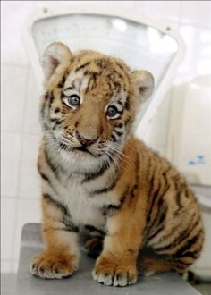 Baby tiger weigh-in.