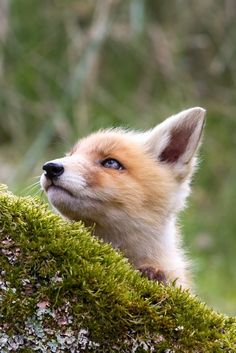 "Red Fox Cub: ""Those Birds up there sure do make a heck of a noise every morning!  It's kinda pretty though...""                (Photo By: Menno Schaefer.)"