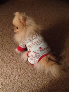 Search Pommy Girls on Facebook to see Sophie! . . .  Pomeranian, dog, pet, animal, fluffy. Pure bred, toy breed,  cream pom, dog clothes, puppy, fluffy, pom - Sophie