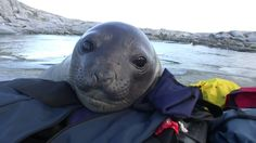 Curious Baby Seal <3
