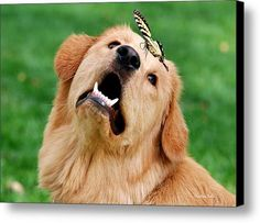 Dog And Butterfly Canvas Print / Canvas Art By Christina Rollo