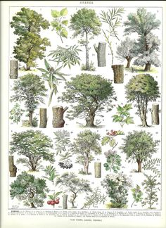 Vintage TREES poster - Vintage French Dictionary Botanical Print
