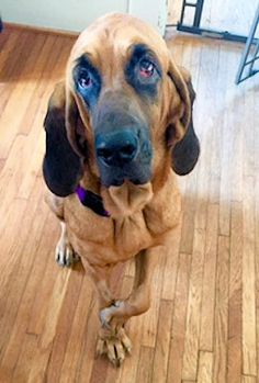 Abtc Rescue Hounds And Bloodhounds Available For Adoption