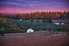 Alpenglow over our winter vineyard.