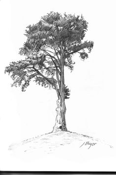 Pencil drawing of my first successful tree, more to come I hope. Celtic Tree Tattoos, Tree Tattoo Men, Tree Tattoo Designs, Birch Tree Wallpaper Nursery, Monterey Cypress, Tree Wedding Centerpieces, Live Oak Trees, Tree Sketches, Cypress Trees