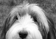 Animal Photography Bearded Collie Card Peek A by overthefenceart