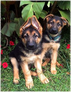 Jerland Kennels - German Shepherd Dogs - Puppies Pictures
