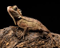 , How To Tell The Age Of A Bearded Dragon? You can measure the length of a bearded. , How To Tell The Age Of A Bearded Dragon? You can measure the length of a bearded dragon to get an approximated age in the first year of their birth. Dragon Sports, Pet Insurance Reviews, Dragon Movies, Pet Stroller, Talking Animals, Secret Life Of Pets, Australian Animals, Cat Behavior, Hai