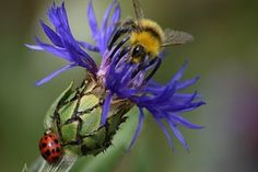 A bumble bee and ladybird on a cornflower on a sunny day in Belper, UK