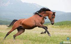 Caucasian horse