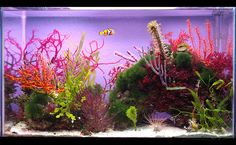 Yoshii's 10 gallon gorgonian and macro algae biotope - September 2015 Featured Reef Aquarium Saltwater Aquarium Setup, Saltwater Fish Tanks, Betta Aquarium, Nano Aquarium, Marine Aquarium, Planted Aquarium, Seahorse Aquarium, Seahorse Tank, Aquarium Ideas
