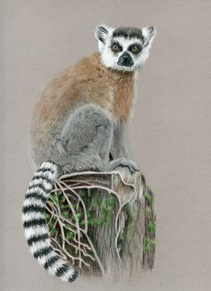 Ring tailed lemur in coloured pencil