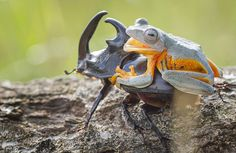 Photographer Captures World's Tiniest Rodeo: Frog Riding A Beetle   Bored Panda