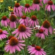 Botanical name: Echinacea purpurea 'Purple Swan'    Other names: Coneflower 'Purple Swan' Click image to learn more, add to your lists and get care advice reminders each month.