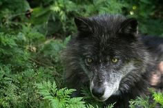 Black Wolf Haida with serious look, by John Cavers - Picture of ...