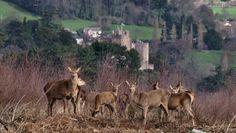 Deer at Bats Castle- Dunster Castle in the background.