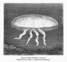 Présente dans tous les #océans, l'Aurélie auriculée est une #méduse qui évolue souvent à la surface de l'eau. Elle fait partie du plancton et est à la base de la chaîne alimentaire. Quant à elle, elle se nourrit de larves de hareng et de petits crustacés. Elle peut également manger d'autres méduses ou ses propres larves car pour sa reproduction, elle doit consommer plusieurs fois son poids en nourriture par jour #numelyo #bestiaire Son ombrelle évasée atteint 40 cm de diamètre.