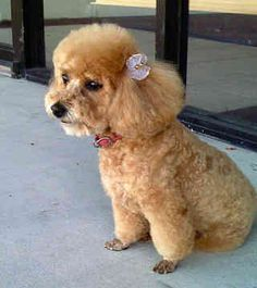 Toy Poodle | toy-poodle-0231.jpg