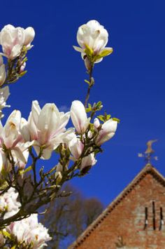 Magnolia tree in bloom in April at The Vyne, Hampshire.