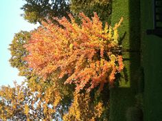 Our backyard maple tree, show it's fall colors....