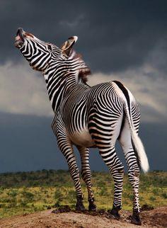 Beautiful Zebra #animal