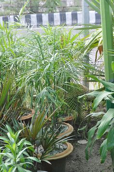 Plant Name : Areca Pulm Plant Type : Indoor  Day Light :No  A/C :Yes Price : 400 BDT Height : 0-5 feet