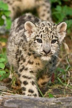Big Cats, Cool Cats, Cats And Kittens, Mundo Animal, My Animal, Beautiful Cats, Animals Beautiful, Cute Baby Animals, Animals And Pets