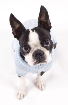 Orejitas. Mi Boston terrier.