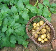 Картофель, или Паслён клубненосный (Solanum tuberosum) Wicker Baskets, Agriculture, Fruit, Plants, Avril, Moment, Mars, Charlotte, Gardens