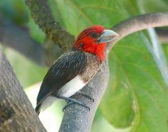 Capitão-de-peito-marrom (Capito brunneipectus)