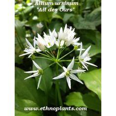 allium ursinum ail des ours 25 graines bulbes gousse et ail. Black Bedroom Furniture Sets. Home Design Ideas