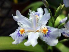 Iris du japon, Iris frangé, Iris japonica
