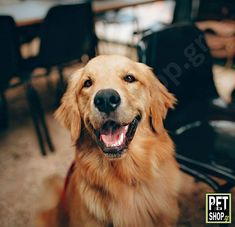 Everyone loves the Golden Retriever: known for their loyalty, luscious fur, and activeness, they're practically the perfect puppy friend. Dog Facts, Animal Facts, Dog Nose Print, Labrador Retriever, Love Dogs, Healthy Pets, Most Beautiful Cat Breeds, Doge, Funny Dogs
